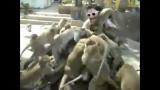 Nourrir les singes: sport extrême!